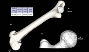 Left, a mouse femur scanned in vivo with microCT. All bone, except for the femur and patella, have been digitally removed and the surface area, volume, and mean radiodensity in Hounsfield Units (HU) are calculated. Right, a mouse hip joint with the femoral head digitally removed., illustrating the detail and capability of extracting specific regions.