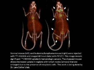 Left, normal mouse, right, leukemia/lymphoma mouse. Both were imaged 24 hours after injection, which reveals significant uptake of [124]I-NM404 in hematologic cancers.