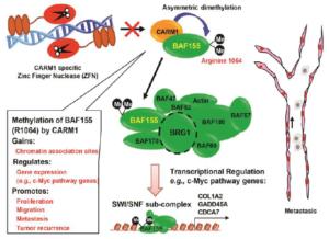 CARM1-mediated BAF155 methylation promotes breast cancer cell proliferation