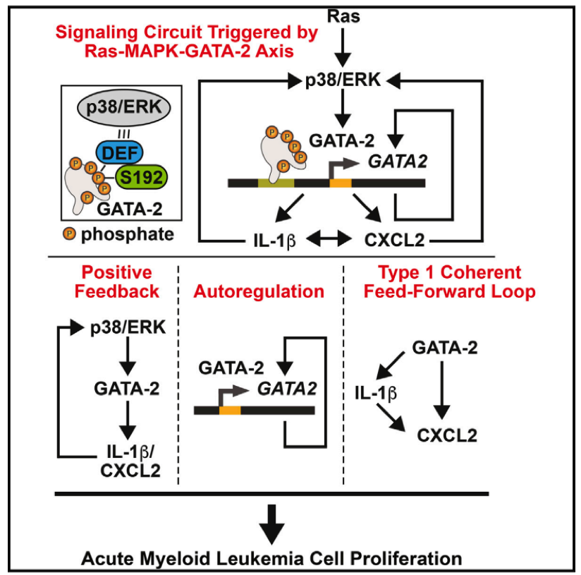 Flow chart representing the mechanism regulating GATA-2 activity in AML cells, the signalling circuit triggered by Ras-MAPK-GATA-2 Axis and it's outcome on acute myeloid leukemia cell proliferation.