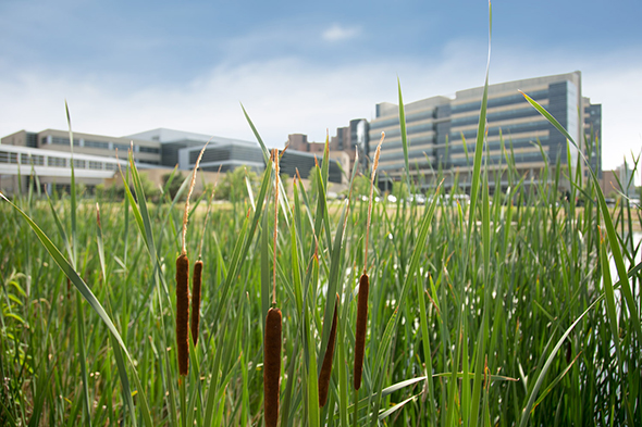 The Health Sciences Learning Center and Wisconsin Institutes for Medical Research pictured from across the pond, with cattails in the foreground