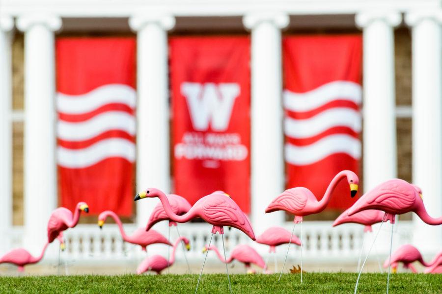 Hundreds of plastic pink flamingos adorn Bascom Hill for the annual